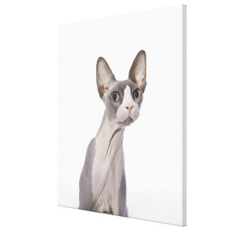 Sphynx Cat with surprised expression Canvas Print