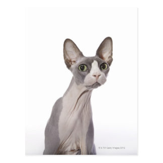 Sphynx Cat with surprised expression Postcard