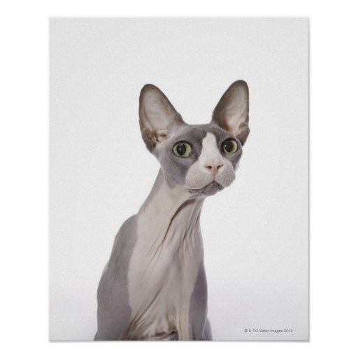 Sphynx Cat with surprised expression Poster