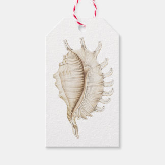 Spider Conch Shell in Coloured Pencil Gift Tag
