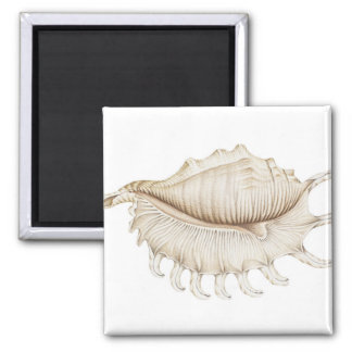Spider Conch Shell in Coloured Pencil Magnet