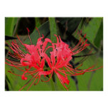 Spider Lily 2 Posters