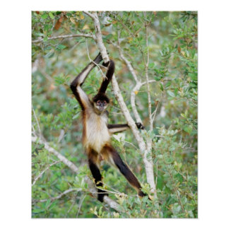 Spider monkey at the Belize Zoo Poster