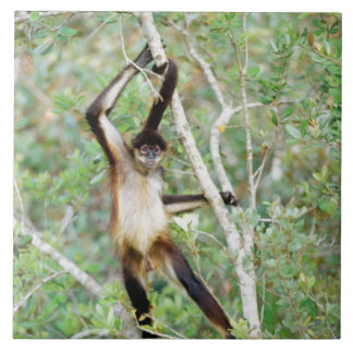 Spider monkey at the Belize Zoo Tile