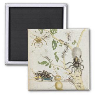 Spiders: Mygole, plate 18 from 'Over de Voorteelin Square Magnet