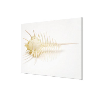 Spiked Murex shell Canvas Print