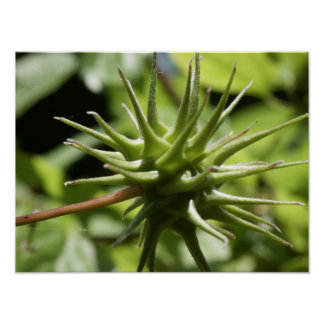 Spikey Seed Pod Poster