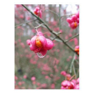 Spindle Tree And Water Droplet Postcard