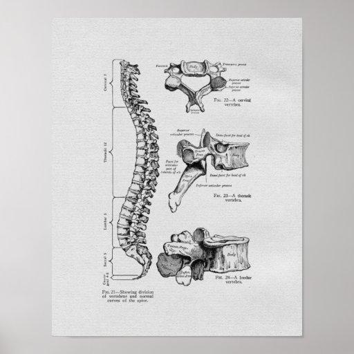 Spine and Vertebrae Vintage Print