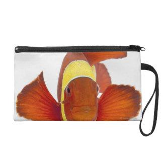 Spine-cheek anemonefish (Premnas biaculeatus) Wristlet