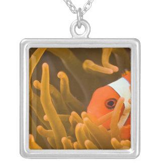Spinecheek anemonfish, Tulamben, North Bali, Necklaces