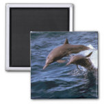 Spinner dolphin refrigerator magnet