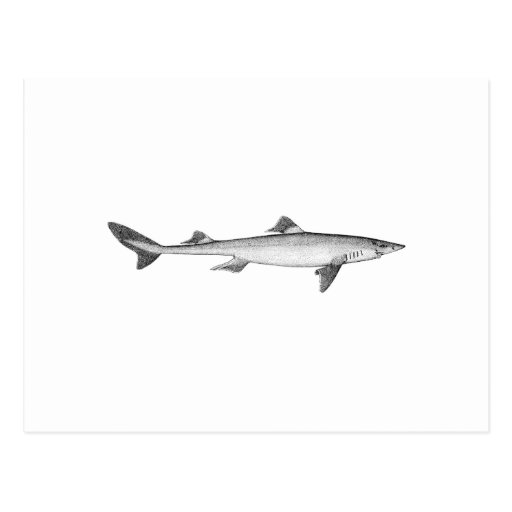 Spiny Dogfish (line art) Post Cards