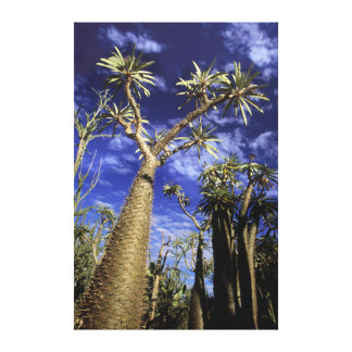Spiny Forest Formed Of Pachypodium Trees Stretched Canvas Print