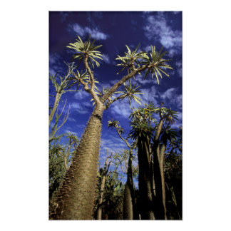 Spiny Forest Formed Of Pachypodium Trees Poster