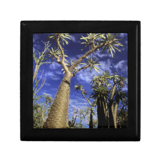 Spiny Forest Formed Of Pachypodium Trees Small Square Gift Box