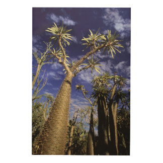Spiny Forest Formed Of Pachypodium Trees Wood Canvas