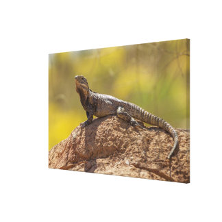Spiny-tailed Iguana on Rock Canvas Print