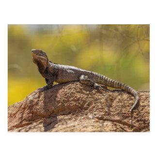Spiny-tailed Iguana on Rock Postcard