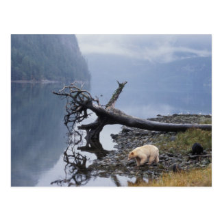 spirit bear, Kermode, black bear, sow with a Postcard