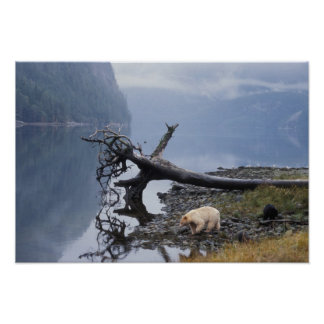 spirit bear, Kermode, black bear, sow with a Poster