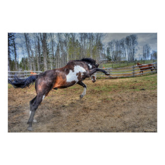 Spirited Pinto Stallion Equine Action Photo Poster