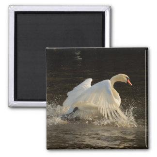 Splashing Swan Fridge Magnet