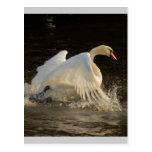 Splashing Swan Post Cards