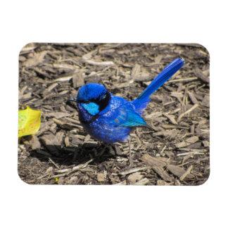 Splendid Fairy Wren Magnet Rectangular Photo Magnet
