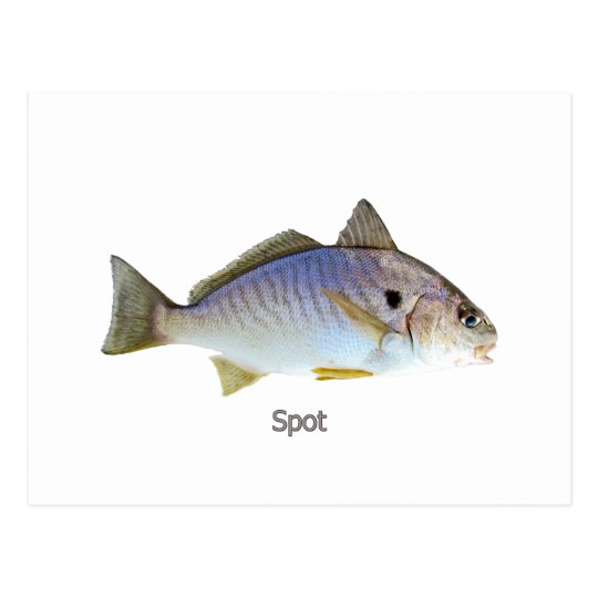 Spot Fish Photo Postcard