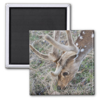 Spotted deer or chital in Indian tiger reserve Square Magnet