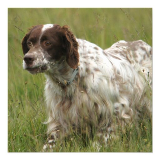 Spotted English Setter Dog Invitations