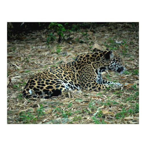 spotted jaguar lying down looking right personalized flyer