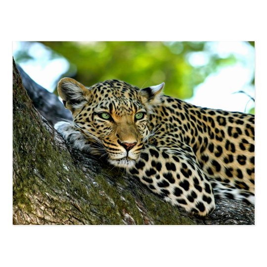 Spotted Leopard Postcard