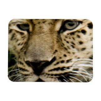 Spotted Leopard Premium Magnet Rectangular Magnet