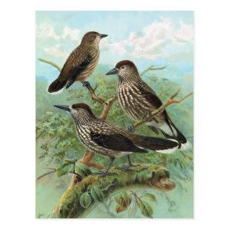 Spotted Nutcracker Vintage Bird Illustration Post Cards