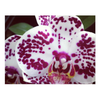 Spotted Orchid Postcard