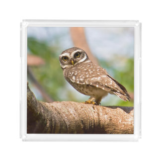 Spotted owl on morning flight. acrylic tray