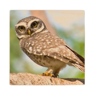 Spotted owl on morning flight. wood coaster