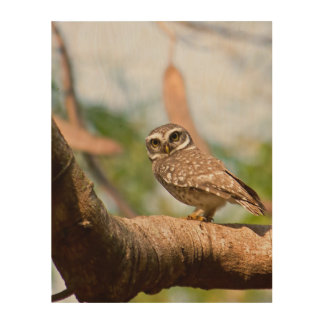 Spotted owl on morning flight. wood print