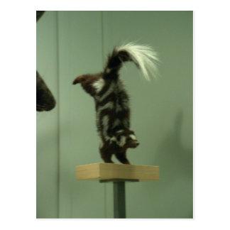 Spotted skunk; museum exhibit postcard