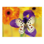 Spotted White Butterfly Postcards