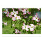 Spring Blooming Pink Dogwood Blossoms Postcard