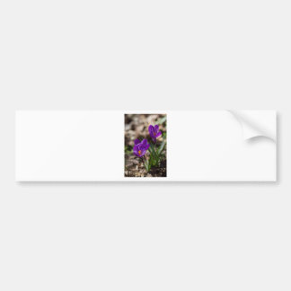 Spring Blooming Purple Crocus Flowers Bumper Sticker