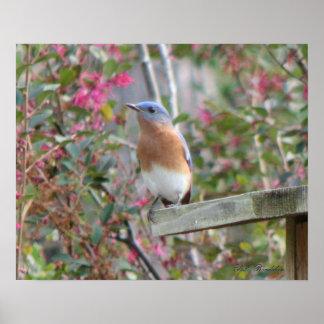 Spring Bluebird Poster