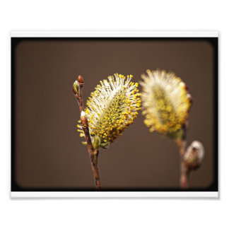 Spring Buds Photo Print