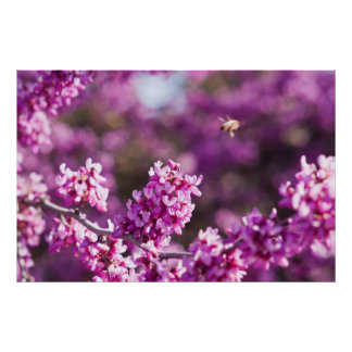 Spring Cherry Blossoms Poster