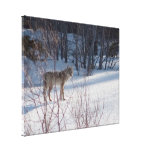 Spring Coyote Gallery Wrapped Canvas