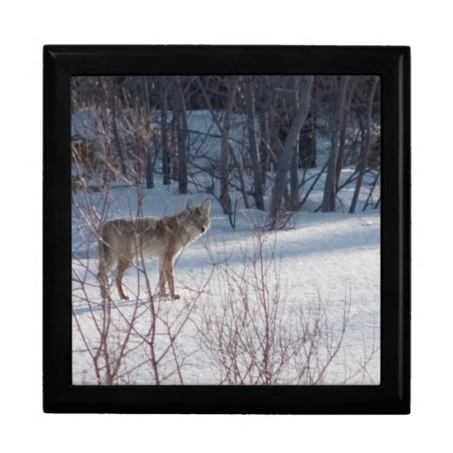Spring Coyote Large Square Gift Box