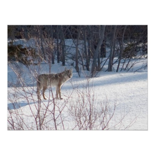 Spring Coyote Photograph